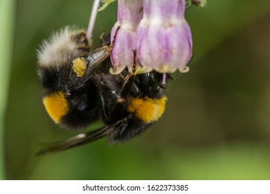 Bumblebee (Bombus terrestris) on Symphytum sp.