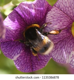 Bumblebee busy gathering nectar inside a calibrachoa in summer.
