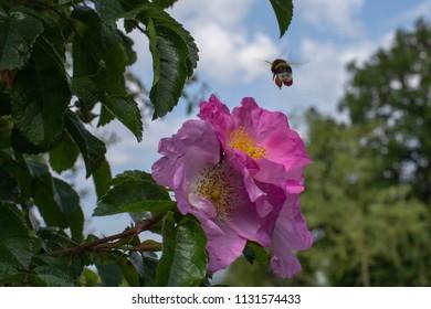 Bumblebee close to blossum