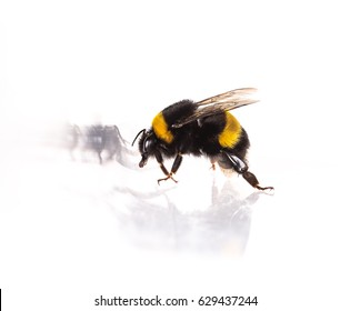 Bumblebee close-up on white isolated background
