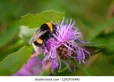 Bumblebee collecting nectar on a violet flower with thin petals