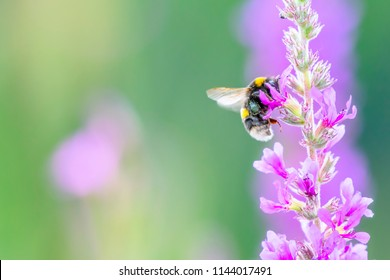 Bumblebee collecting nectar from violet flowers growing on summer meadow in Uk.Colourful nature image with space for copy.Insect in flight with slightly blurred wings due to movement.