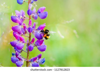 Bumblebee  collecting pollen from the flowers of purple lupine