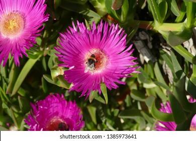 Bumblebee collecting pollen from ice plant on  Pomena, Mljet Island, Croatia