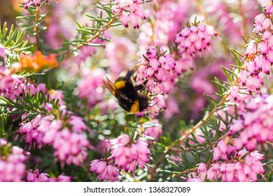a bumblebee collects honey on a flower (spring heath)
