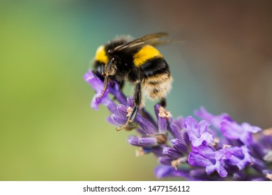 Bumblebee feeding from a lavender