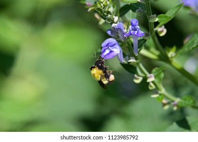 Bumblebee feeding on downy skullcap. The bee is part of 250 species in the genus Bombus, part of Apidae. The skullcap has an arching hooded upper lip and is part of the mint family.