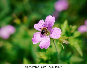 A bumblebee feeding on a purple flower
