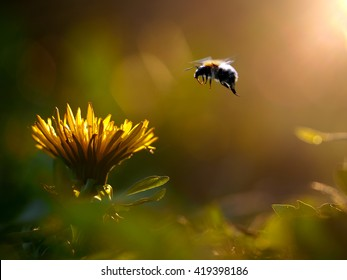 Bumblebee flies to the flower. Yellow dandelion flower. The evening sun.