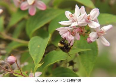 Bumblebee at a flower of a Deutzie