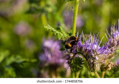 Bumblebee and flowers. Pollination of flowers. Wildlife. Purple flowers on lace. Blurry background. Useful insects.