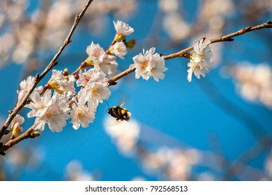 Bumblebee flying over the cherry blossoms in spring
