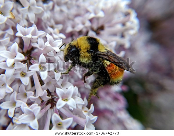 A bumblebee gathers pollen from small white flowers