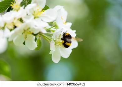 Bumblebee on Apple blossom spring scene. Spring blooming apple blossom bumble bee. Blooming apple blossom bumblebee. Bumble bee on spring blooming apple blossom