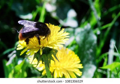 Bumblebee on a blossom of dandelions