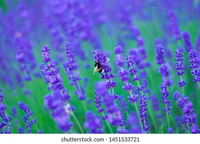 Bumblebee on blossom lavender flowers