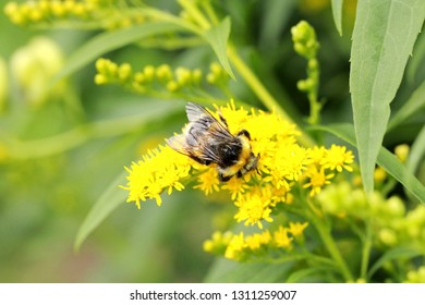 Bumblebee on bright yellow small flowers,