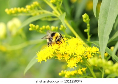 Bumblebee on bright yellow small flowers