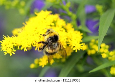 Bumblebee on bright yellow small flowers, close-up
