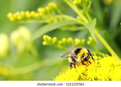Bumblebee on bright yellow small flower