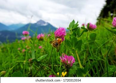 Hummeln auf einer Kleeblume in den Alpen.