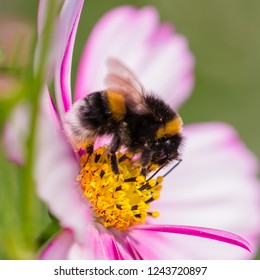 A bumblebee on the Cosmos flower