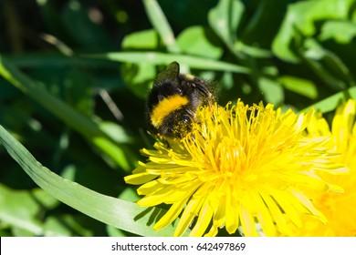 Bumblebee on a dandelion portrait macro with bokeh background, selective focus, shallow DOF.