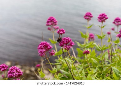 bumblebee-on-flower-centranthus-ruber-26