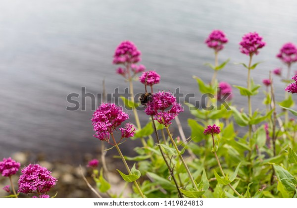 Bumblebee on flower of Centranthus ruber (Red Valerian) with Irish Sea at the background.