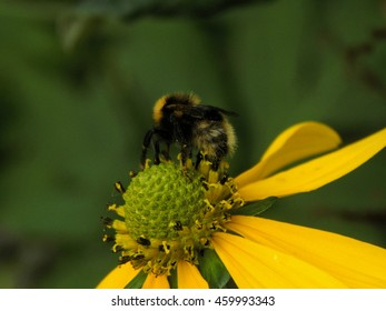Bumblebee on flower close-up. Selective focus
