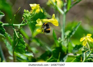 Bumblebee on flower in Cornwall wild flower meadows