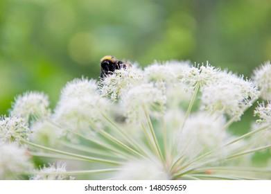 bumblebee on flower, summer