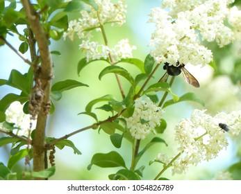 Bumblebee on Flowers