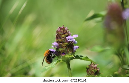 A bumblebee on an heal all