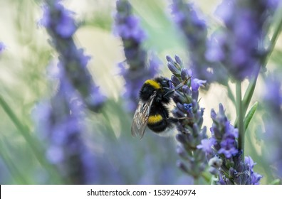 Bumblebee on the lavender flower, blurred background, beautiful bokeh. Bumblebee on lavender flower.
