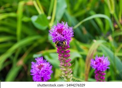 Bumblebee on Liatris pollinates a flower. Bumblebee closeup. Soft selective focus
