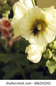 Bumblebee on the mallow