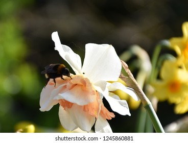 Bumblebee on narcissus narcissi daffodil feeding and collecting pollen nectar