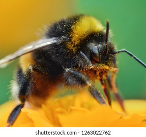 Bumblebee on orange Marigold flower, macro photo. Shallow depth of field, bokeh and soft focus. Pollen on bee's legs. Sunny summer day. Green background