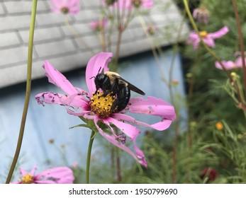 Bumblebee on a pink coneflower (echinacea)