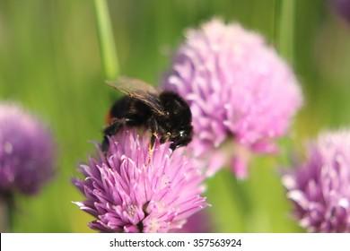 Bumblebee on a pink cornflower in summer