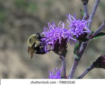 Bumblebee on purple prairie ironweed flower (vernonia fasciculata).
