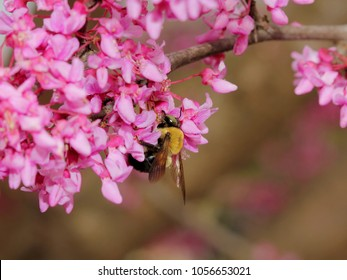 Bumblebee on Redbud Flowers - Close up photograph of a bumblebee on bright pink springtime Redbud Tree flowers.  Selective focus on the area around the bee.