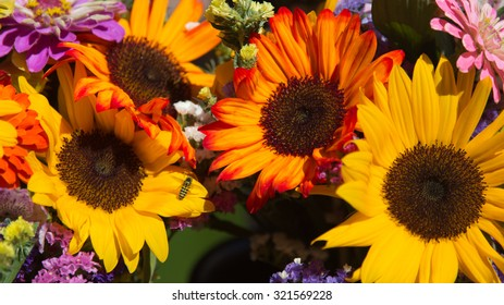 Bumblebee on Sunflowers with Vivid Yellow and Orange Flower Petals in full sunlight