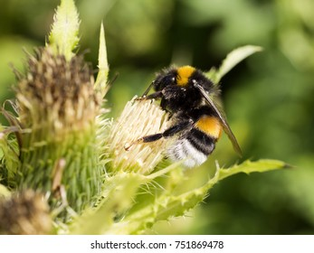 Bumblebee on vegetable caution flowers