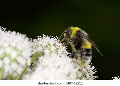 Bumblebee on a white flower. Bumblebee collecting nectar on white field