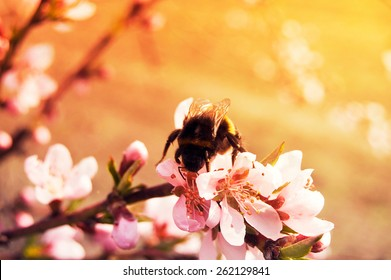 A Bumblebee on a white sakura tree flower (sunkissed effect) / Blurred spring background