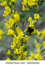 Candlestick senna yellow flowers bloom medicinal stock photo bumblebee on yellow flowers in may mightylinksfo