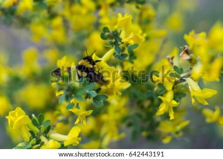 Bumblebee On Yellow Flowers May Stock Photo Edit Now 642443191