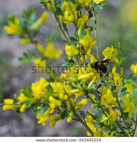 Bumblebee On Yellow Flowers May Stock Photo Edit Now 642443254